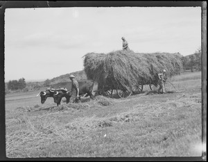 Hay being loaded onto oxen cart in N.H