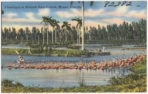 Flamingos at Hialeah race course, Miami, Florida