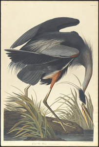 Great blue heron Ardea herodias. Male c.1 v.3 plate 211