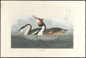 Crested grebe Podiceps cristatus, Lath. Adult male spring plumage, 1. Young first winter, 2. c.1 v.3 plate 292